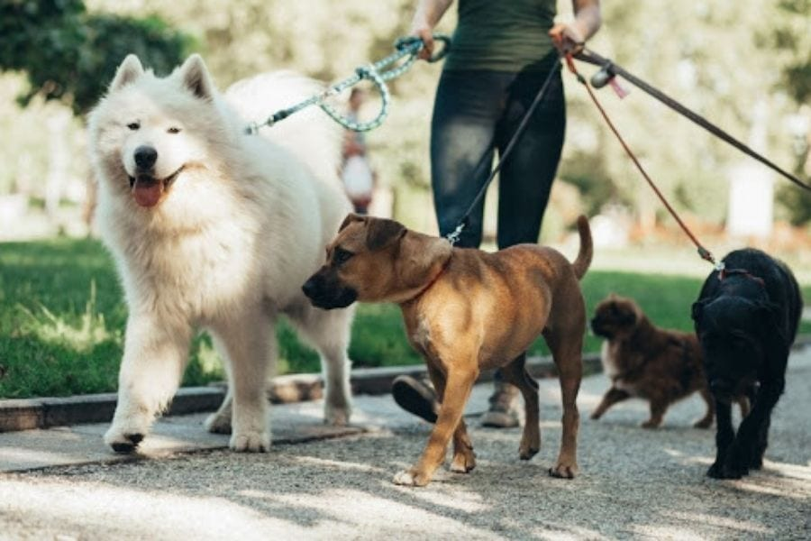 Why Should You Hire a CPR and First Aid Certified Dog Walker?