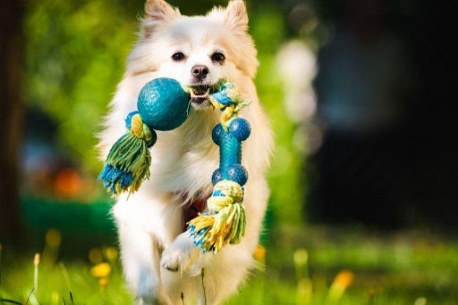 Pomeranian with dog toy
